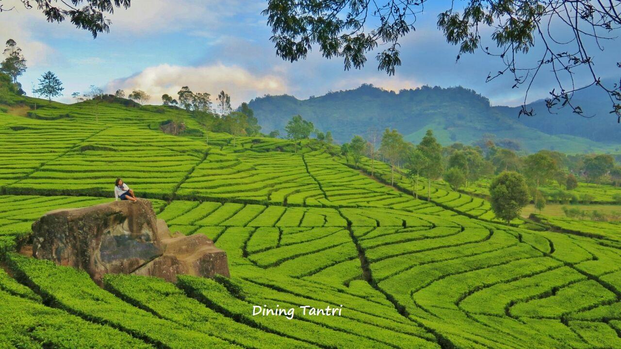 Gambar Kebun Teh Di Ciwidey Ini Dia 3 Kebun Teh Instagenic Di Bandung